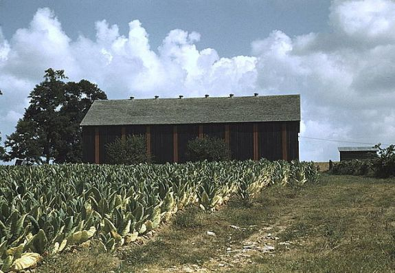 Field of Burley tobacco in the vicinity of Lexington, Kentucky. (Photo credit)