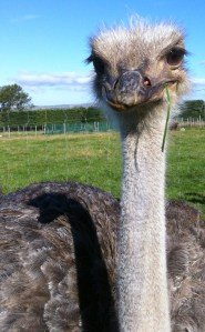 An ostrich with a blade of grass, watching me and my muck boots.