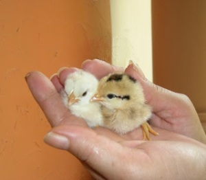 Baby chicks getting their bearings.