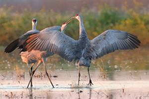 Here's a Sandhill Crane getting a kiss at the end of a wing stretch, squawk, and jump. That's where I got my idea. (Photo credit)