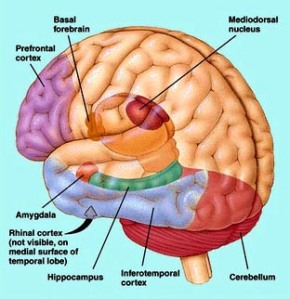 Amygdala noted at lower left, where emotion, not reason, is controlled. (Image credit)
