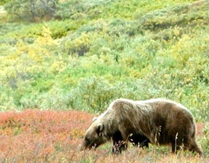 A grazing grizzly just outside the window, Denali National Park, Alaska. This one sent chills up my spine.