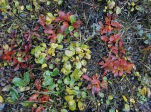A sampling of fall colors in Denali's tundra.