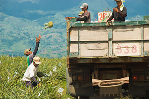 Pineapple harvest in the Philippines. (Source)