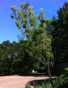 Our goldenball leadtree after I removed the split branch that grew to the left.