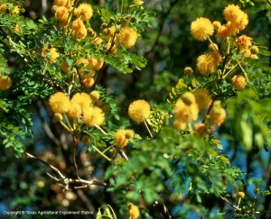Closeup of golden ball lead tree. (Source,)