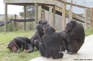 Chimps retired from captive situations live out their lives in sanctuaries. Photo by Jude Gogi Gabe Vick. (Source.)